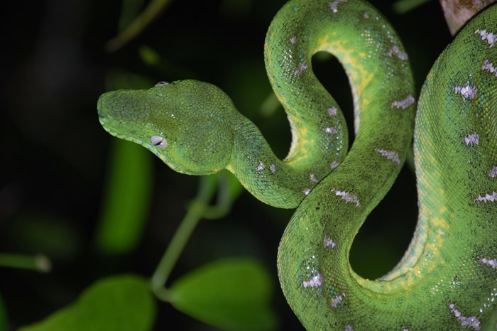 amazon-green-parrot-viper