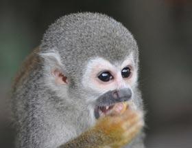 squirel-monkey-amazon-ecuador