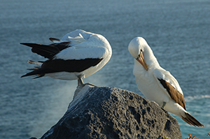 galapagos shorebirds