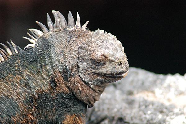 marine iguana galapagos