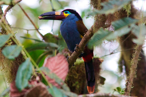 Plate-billed_Toucan